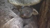 A baby koala clings onto its mother.