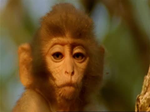 CU Baby Macaque monkey looking around, India