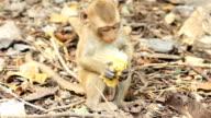 Baby monkey eating corn