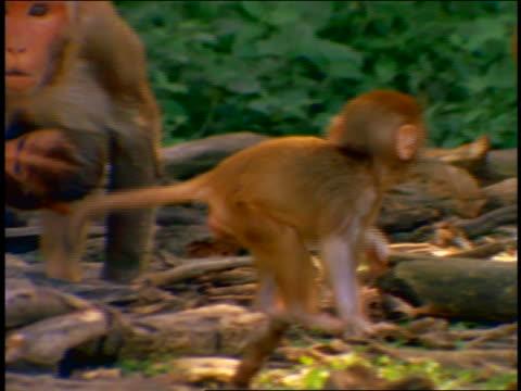 Baby monkey walking on ground / adult monkey with other baby monkey holding onto stomach in background / Cayo Santiago, Puerto Rico