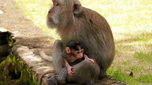 Baby monkey with mother close-up