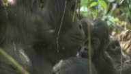 A baby mountain gorilla climbs over its mother as she eats. Available in HD.