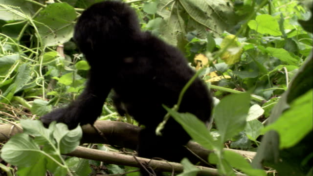 A baby mountain gorilla climbs over tree limbs to hug its mother. Available in HD.