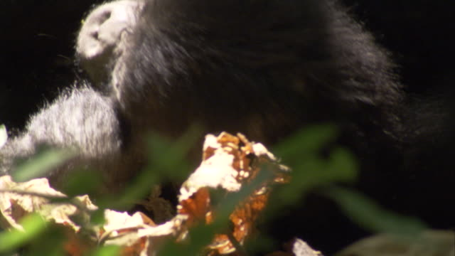 A baby mountain gorilla plays amongst leaves. Available in HD.