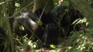 A baby mountain gorilla plays with vegetation near a group of adults. Available in HD.