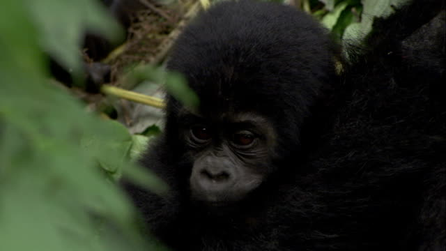 A baby mountain gorilla turns toward its mother as she hugs it. Available in HD.