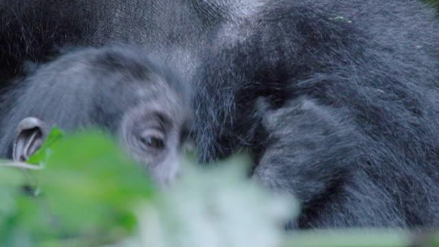 CU Baby Mountain Gorilla w/ mother