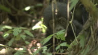 A baby mountain gorilla walks unsteadily through vegetation. Available in HD.