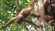 A baby orangutan and its mother in the jungle tree in Borneo, Malaysia.
