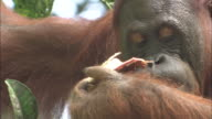 A baby orangutan and parent on a tree in Borneo, Malaysia.