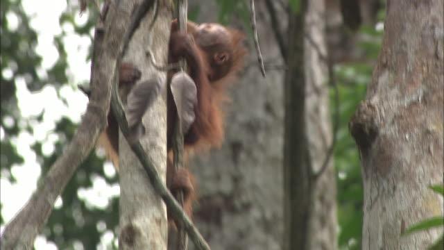 A baby orangutan climbs the ivy in Borneo, Malaysia.