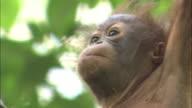 A baby orangutan in Borneo, Malaysia.