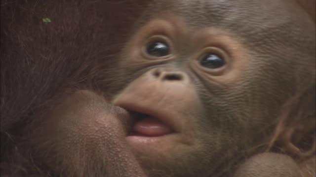 A baby orangutan sucks its finger in Borneo, Malaysia.