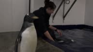 Baby penguins are given swimming lessons at the National Sealife Centre in Birmingham The penguins born this summer and temporarily nicknamed Hulk...