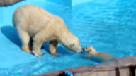 A baby polar bear debut in the swimming pool and exhibited its wonderful first swim at Maruyama Zoo here in central Sapporo The baby bear was born in...