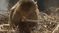 Baby Rhesus macaque forages through branches on floor, Bateshwar Available in HD.