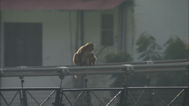 Baby Rhesus macaque runs along bridge to join mother, Rishikesh, India Available in HD.