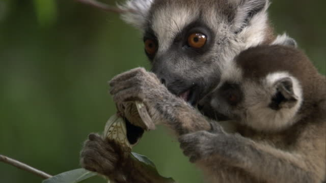 Baby ring tailed lemur (Lemur catta) watches adult eat cicada (Cicadidae), Madagascar