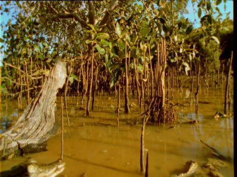 Baby saltwater crocodile scuttles through shallow mangrove swamp, Queensland, Australia