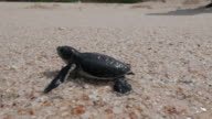 Baby sea turtle hatching and make the way to ocean