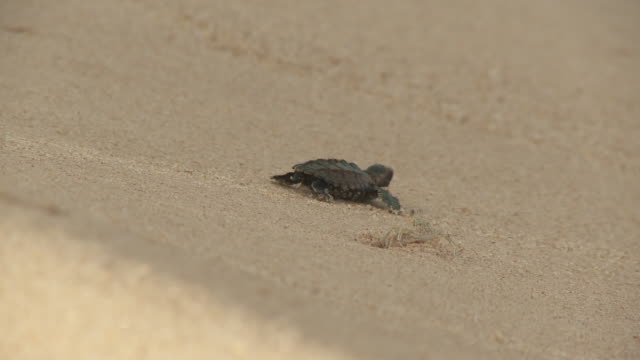 A baby sea turtle inches over the sand past a tiny crab.