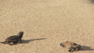 Baby sea turtles crawl over the sand.