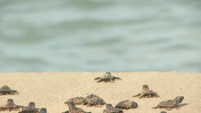 Baby sea turtles inch their way over a beach towards the ocean.
