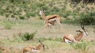 Baby Springbok suckling from its mother, Kgalagadi Transfrontier Park, South Africa