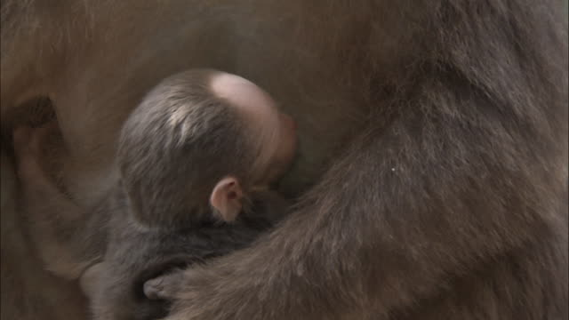 Baby Tibetan macaque suckles from mother, Mount Emei, China