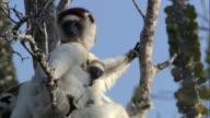 Baby Verreaux's sifaka lemur (Propithecus verreauxi) nestled against mum, Madagascar