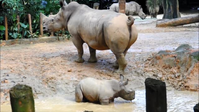 A baby white rhino at Singapore Zoo is given a name Oban meaning King in the African Yoruba language and is moved into a public enclosure after...