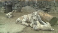 A baby white tiger plays in rolling over beside its mother