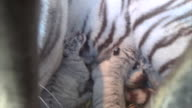 Baby white tigers nurse at their mother's breast