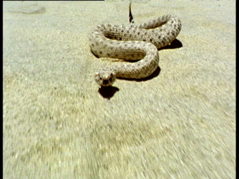 Back track as sidewinder rattlesnake moves quickly across desert sand and strikes at camera