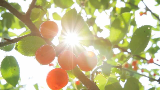 HD: Backlit Cherries On A Tree