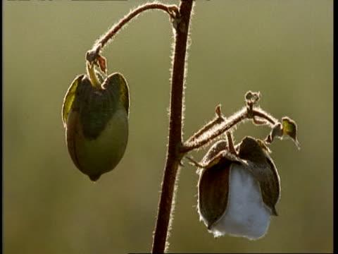 BCU Backlit Cotton Boll and unripe fruit on stem, Gujarat, India