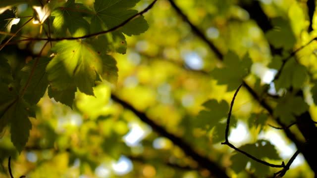 Backlit Leaves slow focus pull
