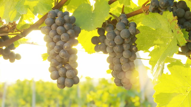 HD DOLLY: Backlit Muscat Grapes In Vineyard