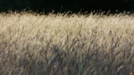 Backlit yellow grasses on grassland prairie, gently waving in wind, Texas Hill Country, Stonewall, Texas