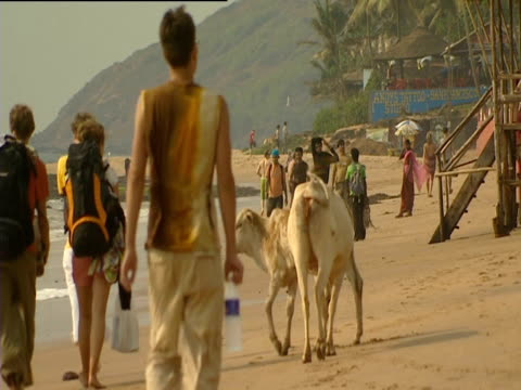 Backpackers walk alongside locals and cows on beach Goa
