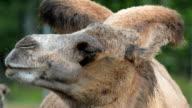 Bactrian camel humps