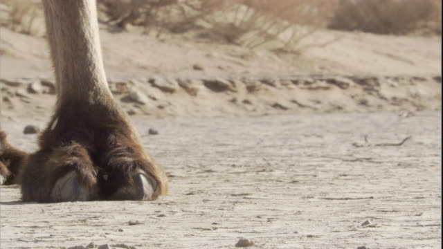 Bactrian camels walk on Gobi Desert, Mongolia. Available in HD.