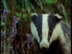 Badger looks around in bluebell wood, UK