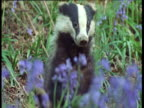 Badger scratches an itch in bluebell wood, UK