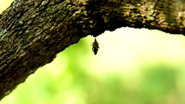 Bagworm pupa