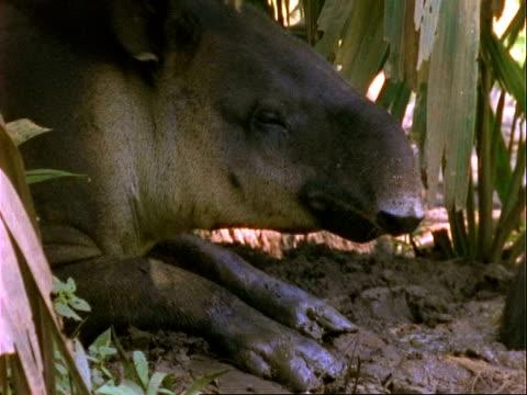 Baird's Tapir, CU sleepy tapir licks lips, yawns and settles down to sleep.  Panama.