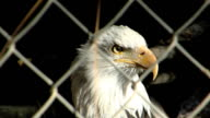 Bald Eagle behind chain linked fence in pen of unidentifiable zoo looking around National symbol American symbol USA United States captivity bird of...