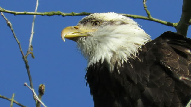 Bald Eagle close up looking around intensely at surroundings