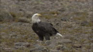 Bald eagle feeds on salmon, British Columbia, Canada