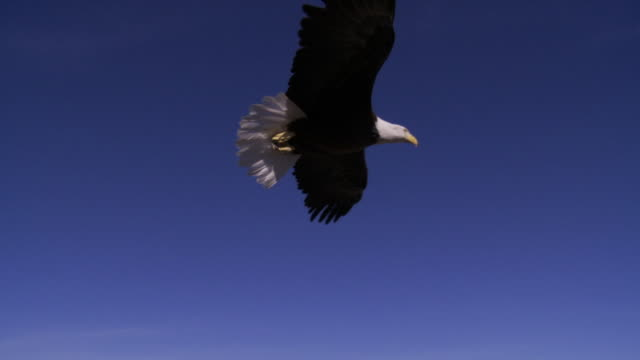 SLO MO MS WS Bald Eagle (Haliaeetus leucocephalus) flying against blue sky / Boise, Idaho, USA
